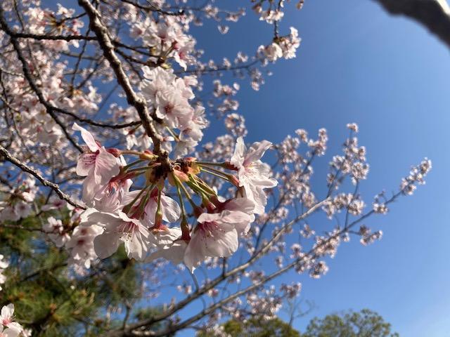 福岡城の花見